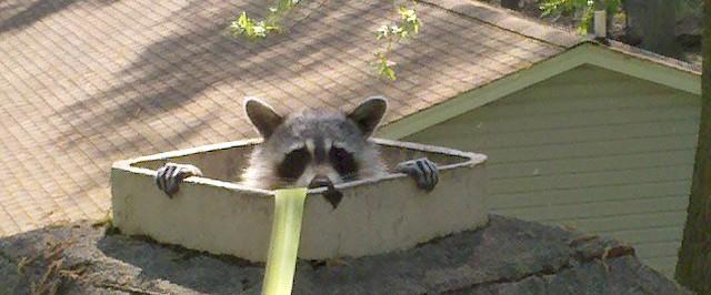 raccoon in chimney